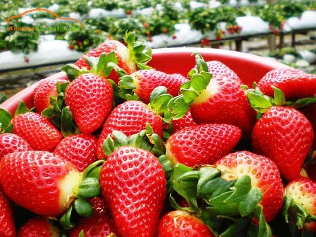dalat strawberry